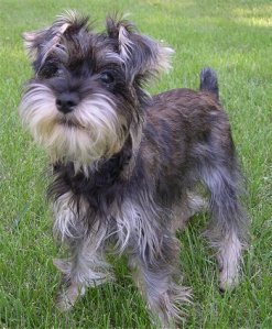 photo of snorkie - mixed breed of schnauzer and yorkie